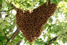 bee-swarm-3