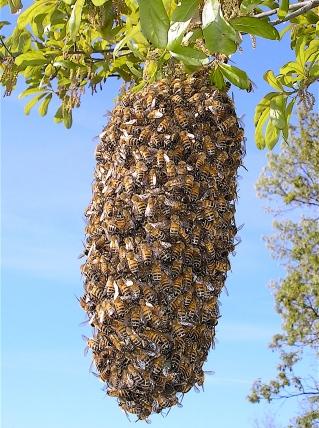 Bee_Swarm 1